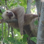 sloth panama city