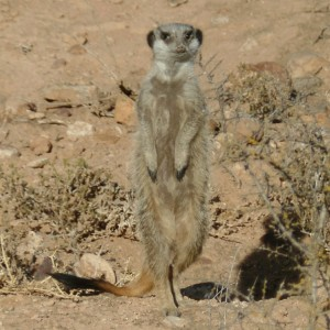 meerkat safari at buffeldrift oudtshoorn south africa