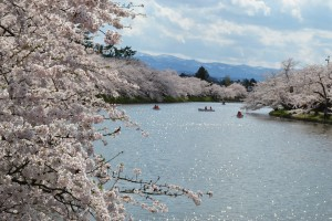 cherry blossom and river japan